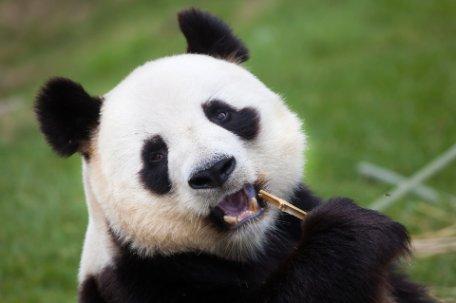 CHINA, HOGAR DEL OSO PANDA